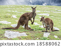 Kangaroos mother father and son portrait 18588062