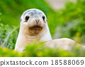 newborn australian sea lion on bush background 18588069