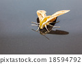 Giant Arum hawk moth 18594792
