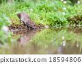 Wild rat 18594806