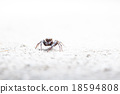 Jumping spider 18594808