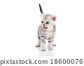 Cute american shorthair kitten licking lips 18600076