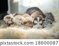 Puppy lying with kittens 18600087