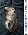 Close up of cute tabby  kitten sleeping 18600089