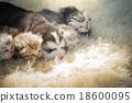 สัตว์,สัตว์ต่างๆ,แมว 18600095