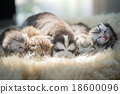 Puppy lying with kittens 18600096