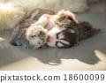 น่ารัก,แมว,น่าเอ็นดู 18600099