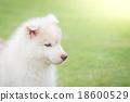 siberian husky puppy 18600529