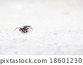 Jumping spider 18601230