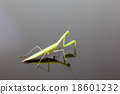 Mantis 18601232