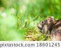 wild rat 18601245