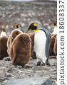 King Penguin, Antarctica 18608337