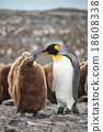 King Penguin, Antarctica 18608338