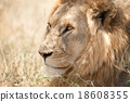 Closeup shot of young male lion in Serengeti 18608355