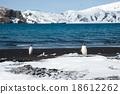 Gentoo penguin, Deception Island, Antarctica 18612262