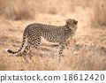 Cheetah in Serengeti National Park, Tanzania 18612420