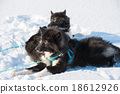 Greenland sled dogs relaxing after hard working 18612926