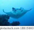 魟魚 黃貂魚 蝠鱝 18615663