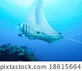 魟魚 黃貂魚 蝠鱝 18615664
