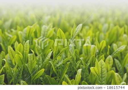 아침의 차밭 18615744