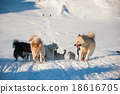 Greenland sled dogs at work 18616705