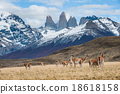 Guanacos in Torres del Paine National Park  18618158