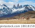 Guanacos in Torres del Paine National Park  18618158