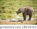 Young African Elephant, Amboseli, Kenya 18618163