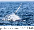 Whale, cape cod 18618446