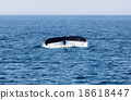 Tail of Whale, Cape Cod 18618447