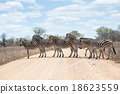 Zebra crossing road, Kruger National Park 18623559