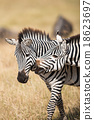 Zebra in savanna wild 18623697