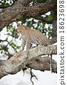 African leopard on tree 18623698