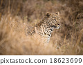 African Leopard in the wild 18623699