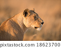 Female lion in Serengeti, Tanzania 18623700