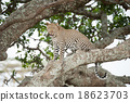 African leopard on tree 18623703