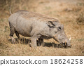 The warthog or common warthog in the wild 18624258