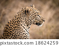 Closeup of African Leopard in the wild 18624259
