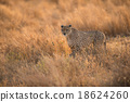Cheetah in the wild africa 18624260