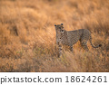 Cheetah in the wild africa 18624261