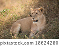 Female lion in Serengeti National Park, Tanzania. 18624280