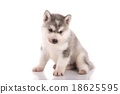 Handicapped Siberian husky puppy 18625595