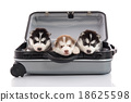Three siberian husky puppies sitting 18625598