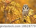 Sparrow owl on rowan tree 18628779