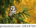 Sparrow owl on spruce 18628780