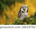 Owl on spruce 18628782