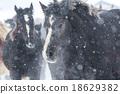 equine, horse, animal 18629382