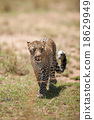 African Leopard in the wild 18629949