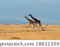 Giraffes  in Kenya 18632309