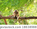Golden gibbon sitting on a tree's branch looking 18638988